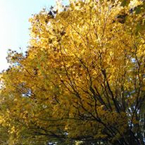 foliagegold5
