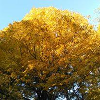 foliagegold7